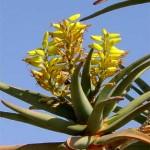 Foto ZuidAfrika bloem