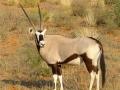 Zuid Afrika gemsbok