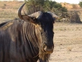 Zuid Afrika wildebeest