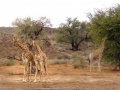 Zuid Afrika giraffe