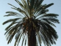 Zuid Afrika palm