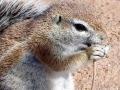 Kalahari marmot 2