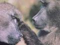 Zuid Afrika Bavianen